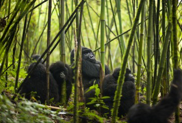 gorillas in bamboo forest