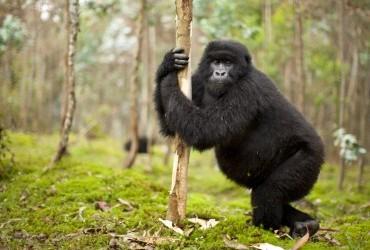 gorilla hugging a tree