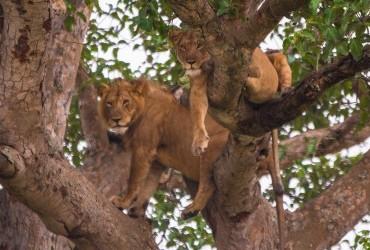 two climbing lions